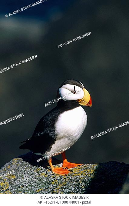 Horned Puffin on Cliff Round Island Western AK