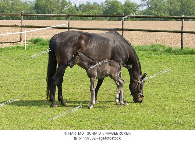 Mare with 2 days old foal at pasture
