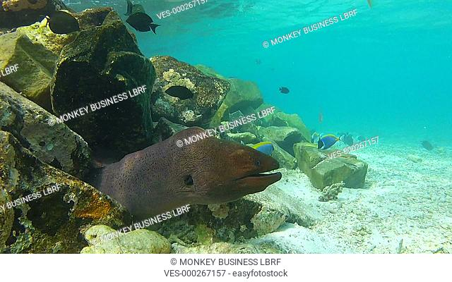 Moray Eel in mouth of home in coral reef.Shot on Canon 5d Mk2 with a frame rate of 30fps