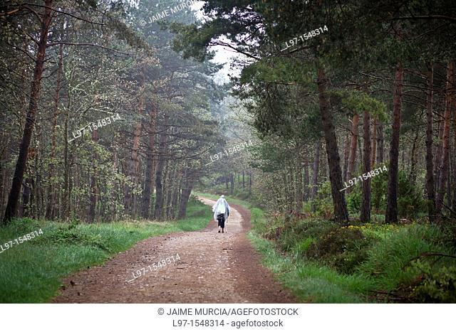 Pilgrim walking through pine forest along the Camino de Santiago