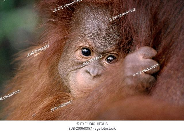 Pongo pygmaeus. Close view of baby Orang-utan clutching its mother