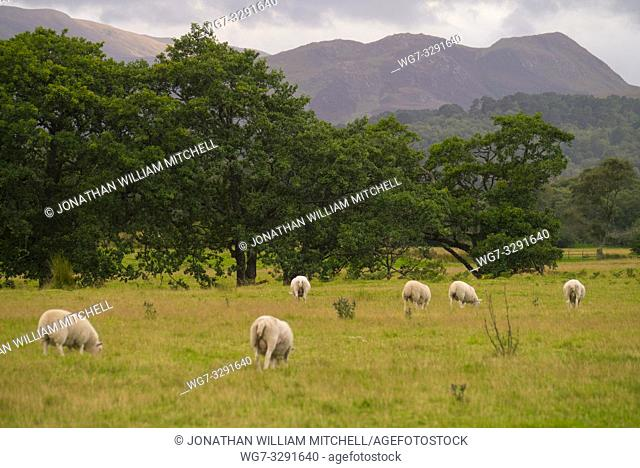Sheep and lamb in a field in the Scottish Highlands Scotland UK