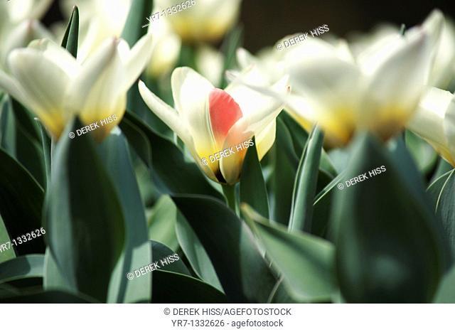 Double Late Tulip