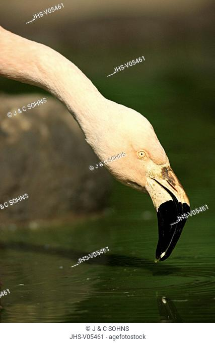 European Flamingo,Greater Flamingo,Phoenicopterus ruber roseus,Europe,adult drinking portrait