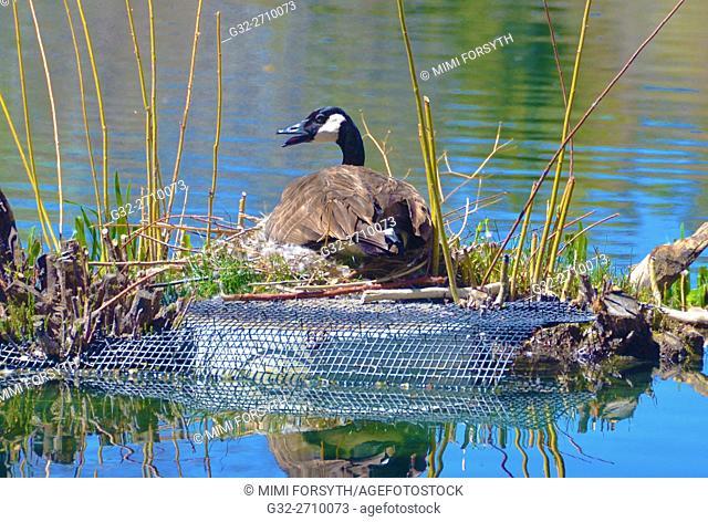 Canada Goose (Branta canadensis) nesting, New Mexico, USA