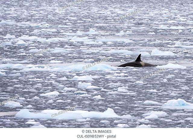 Orca (Orcinus orca) swimming in Lemaire channel, Antarctic