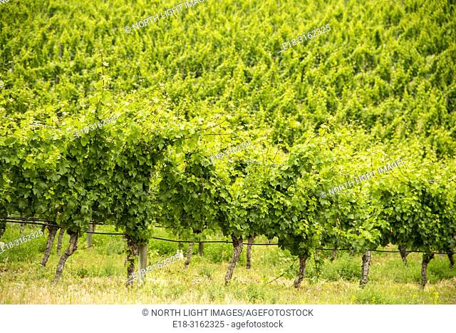 Canada, BC, Oliver, vigorously growing grapevines in the heart of the Okanagan Valley. BC's premier wine making area