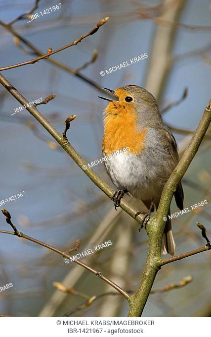 Robin (Erithacus rubecula) singing, territorial song, Schleswig-Holstein, Germany