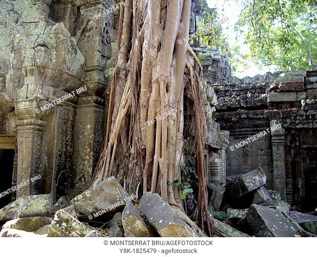 Massive rootsystem invading the walls at Angkor Ta Prohm Temple, Cambodia