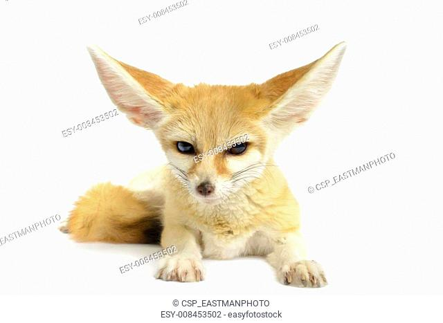 Fennec Fox (Vulpes zerda) isolated on white background