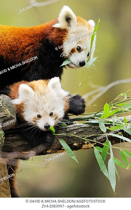 Red panda (Ailurus fulgens) mother with her youngster on a bough