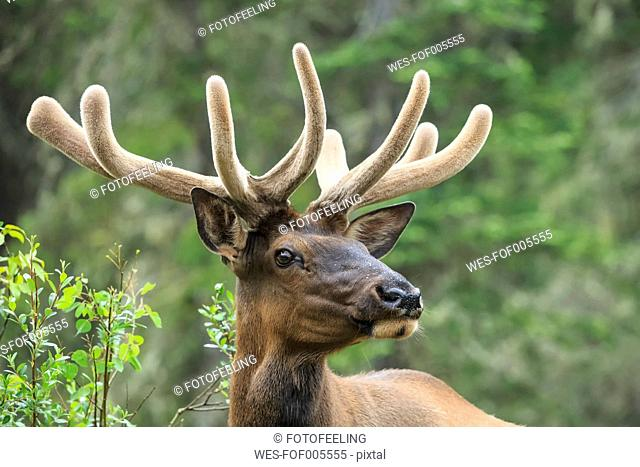 Canada, Alberta, Rocky Mountains, Jasper National Park, Banff Nationalpark, wapiti (Cervus canadensis)