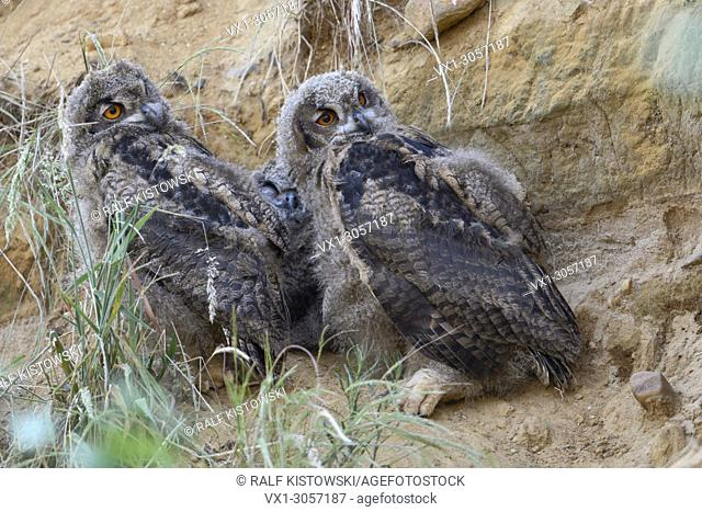 Eurasian Eagle Owls ( Bubo bubo ), two chicks in a sand pit, watching critical aside, funny, wildlife, Europe