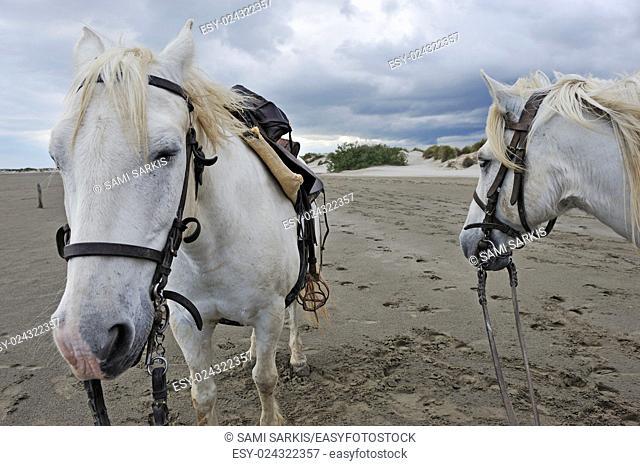 Camargue horses on beach, Camargue, France, Europe