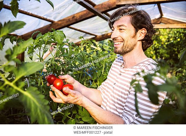 Germany, Northrhine Westphalia, Bornheim,Mid adult man admiring ripe tomatoes in greenhouse