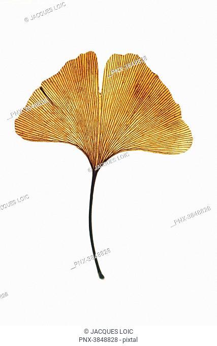 Close-up on a gingko biloba leaf