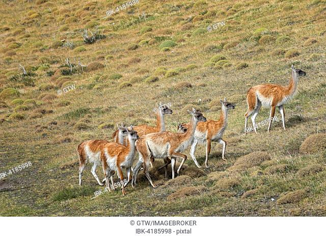 Group of Guanacos (Lama guanicoe) in the steppe, Torres del Paine National Park, Chilean Patagonia, Chile