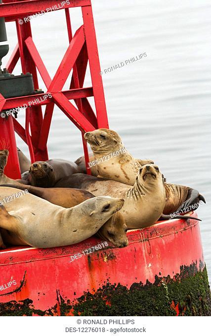 California Sea Lion (Zalophus californianus), Channel Islands National Park; California, United States of America