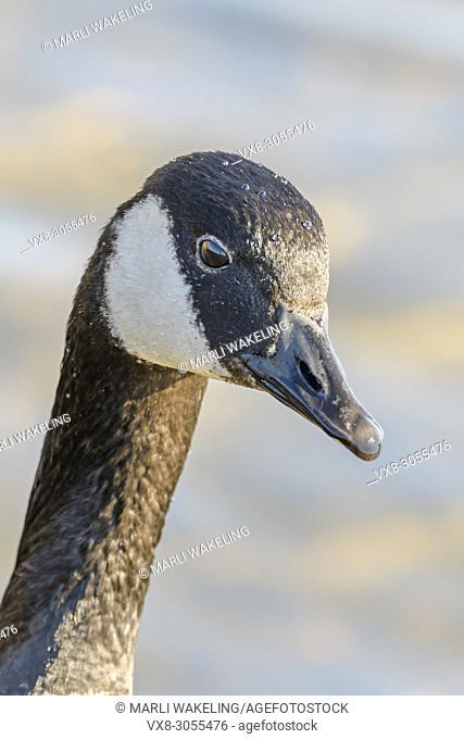 Canada Goose, Branta canadiensis, Burnaby Lake Regional Park, Burnaby, British Columbia, Canada