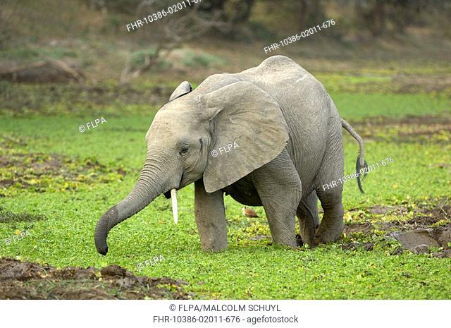 African Elephant Loxodonta africana young, walking in wetland, South Luangwa N P , Zambia