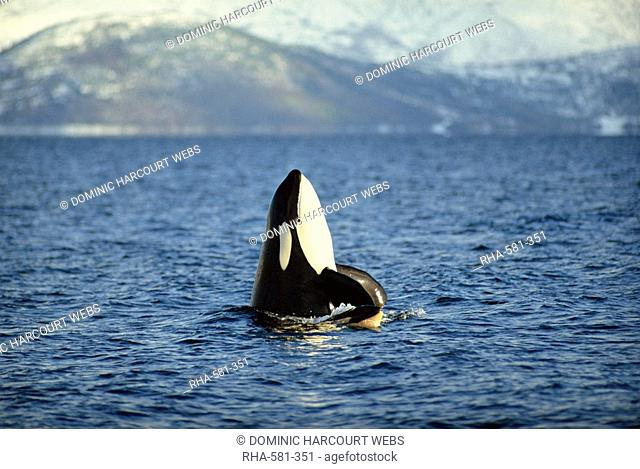 Killer whale spy hopping with calf in an Arctic Fjord, Norway, Scandinavia, Europe