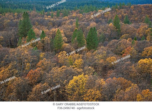 Fall colors on trees in mixed forest, Shasta National Forest, near Burney, California