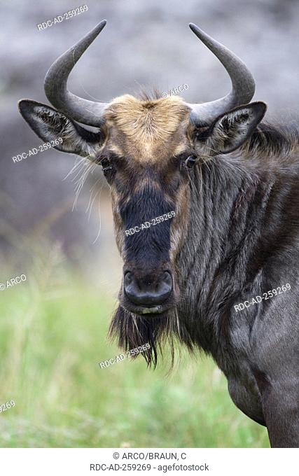 Blue Wildebeest South Africa Connochaetes taurinus albojubatus