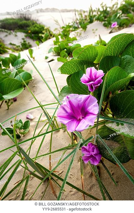 Beach Morning Glory in the dunes on South Padre Island, Texas, USA