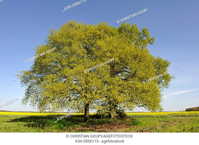 oak tree in a field on the edge of the Forest of Rambouillet, Haute Vallee de Chevreuse Regional Natural Park, Yvelines department, Ile-de-France region, France
