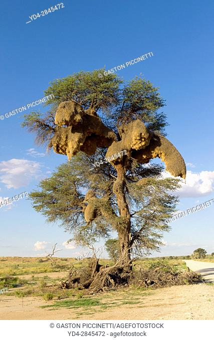 Huge communal nest of Sociable Weavers (Philetairus socius) in a camelthorn tree (Acacia erioloba), Kgalagadi Transfrontier Park in rainy season, Kalhari Desert