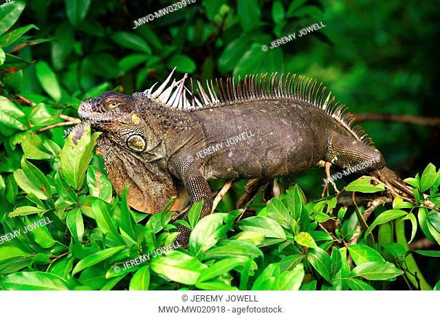 iguana, Costa Rica 04-22-2006