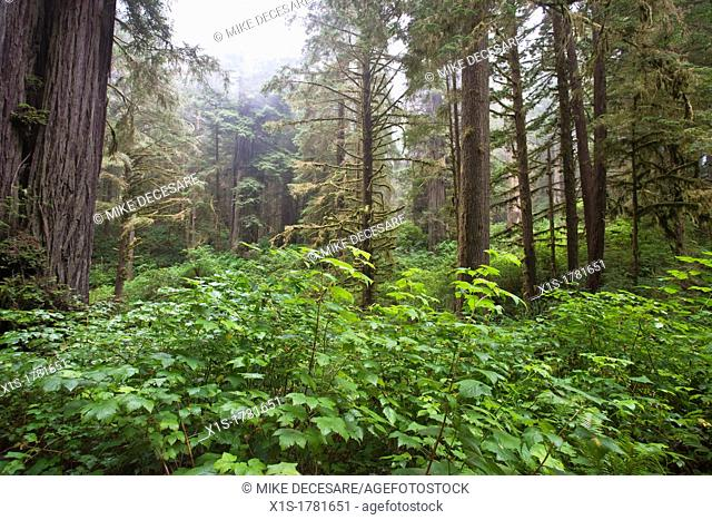 Green leaves low to the ground surround Redwood trees in a forest