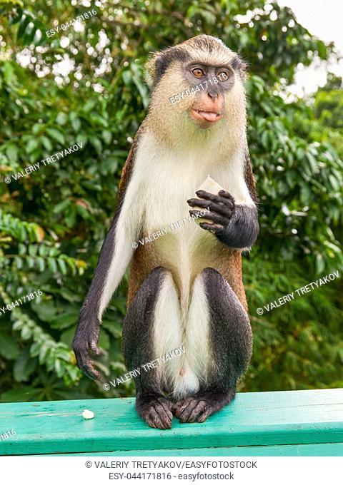 Monkey with banana on the island of Grenada