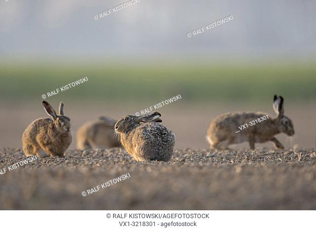 Group of Brown Hares / European Hares / Feldhasen (Lepus europaeus) sitting together in typical agricultural surrounding, low point of view
