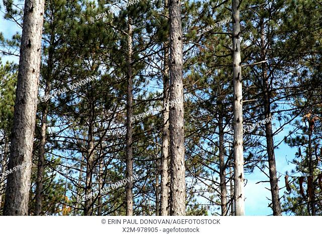 A group of Red Pine tree Pinus resinosa in Pawtuckaway State Park, New Hampshire, which is part of the New England USA