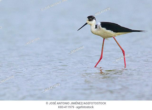 Black-necked Stilt (Himantopus himantopus)