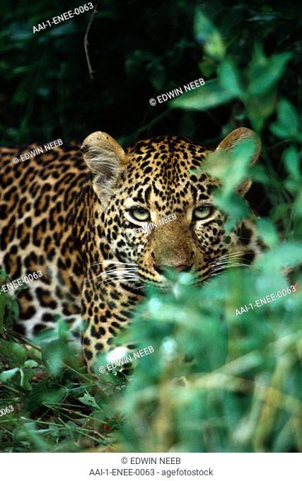 Leopard, Nottens Private Game Reserve, Sabi Sabi, Mpumalanga, South Africa