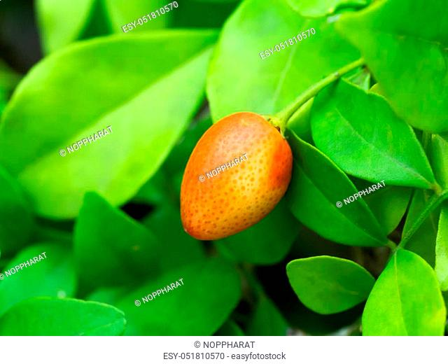 Fruit of Orange Jessamine, Satin-wood, Cosmetic Bark Tree, Murraya paniculata, Andaman satinwood, Chanese box tree, Orange jasmine, Satin wood, Murraya exotica
