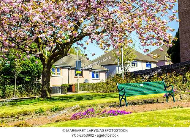 Airdrie, North Lanarkshire, Scotland, UK. Streets with beautiful Japanese Cherry tree blossom and a green bench