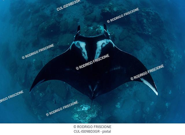 Giant oceanic manta ray, overhead view, Revillagigedo, Tamaulipas, Mexico