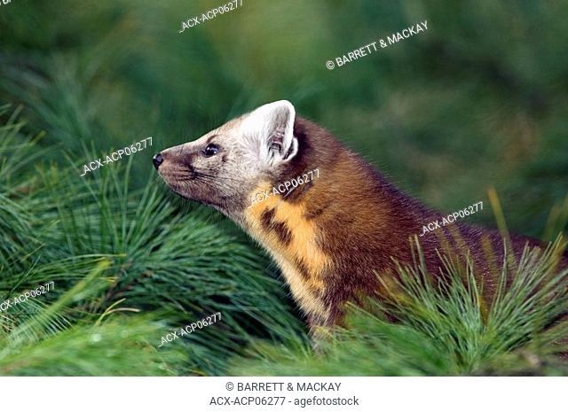 Martes americana, Pine Marten hunting in pine tree, Canada