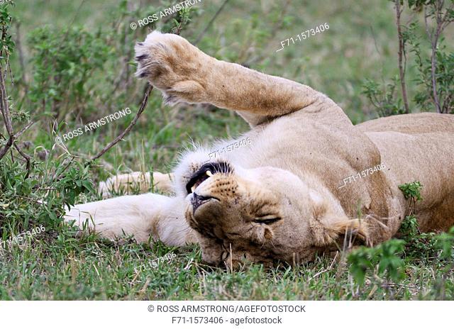Lioness Panthera leo resting  Maasai Mara National Park, Kenya, East Africa