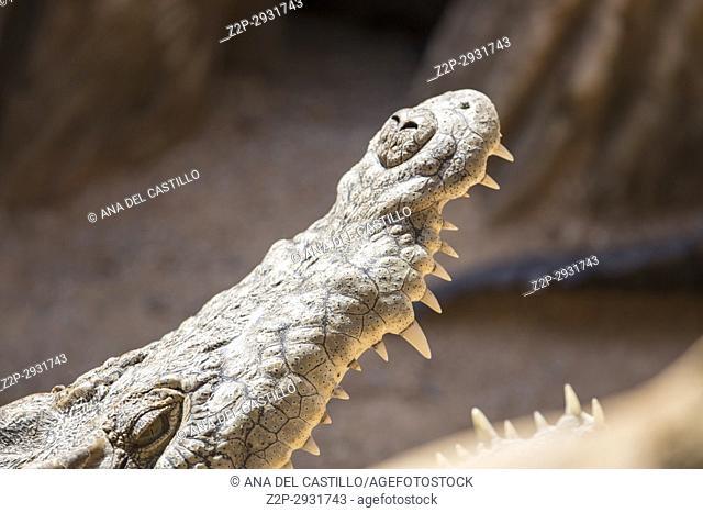 Nile cocodrile