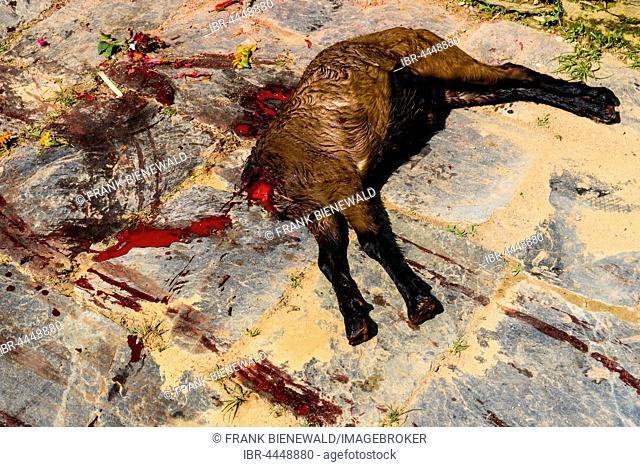 Corpse of a dead goat, sacrificed at the Khadga Devi Mandir Temple, Darsain Hindu Festival, Bandipur, Tanahun, Nepal