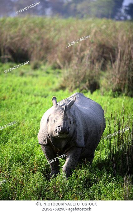One Horned Rhino(Rhinoceros unicornis) at Kaziranga National Park Assam India