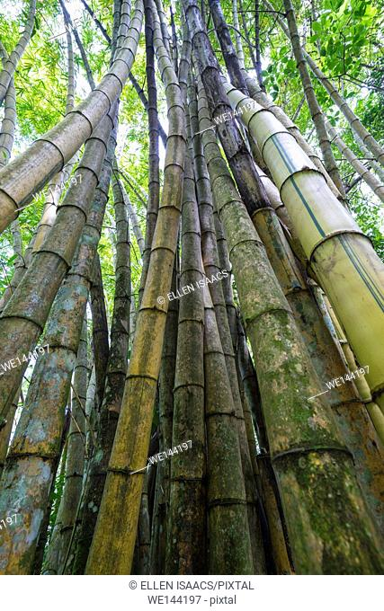 Tall curving bamboo culms in forest of Osa Peninsula, Costa Rica