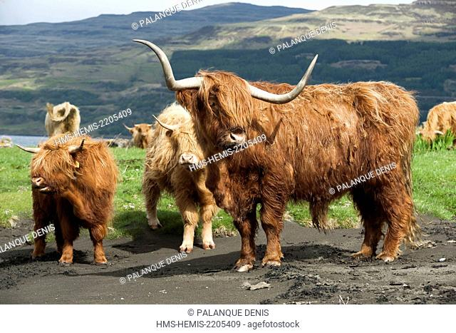 United Kingdom, Scotland, Hebrides, Isle of Mull, Loch Scridain, Porta Chaomhain, Highland race Bull, two calf and cattle in salt meadow