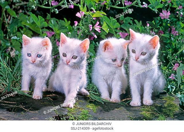 Domestic cat. Four white kittens sitting in a garden with flowering Mallows in background. Germany