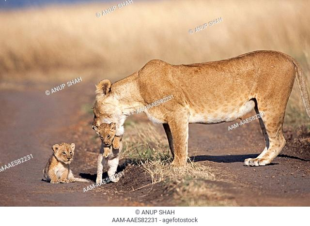 Lioness picking-up one of her 2-3 month old cubs  (Panthera leo). Maasai Mara National Reserve, Kenya. August 2009