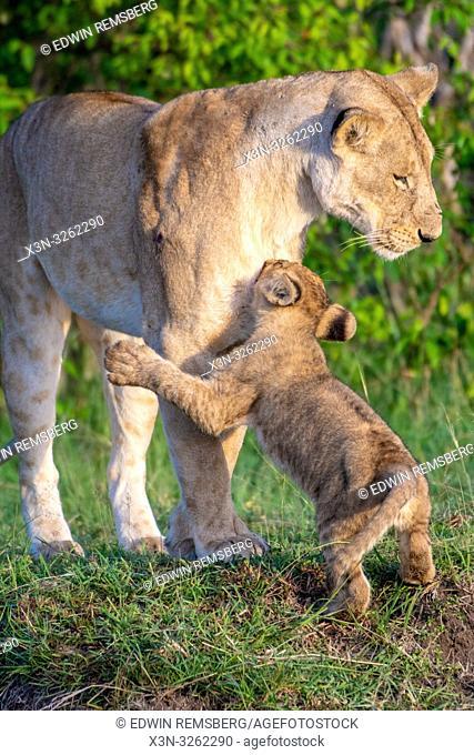 Lion, (Panthera leo) , Maasai Mara National Park, Kenya, Africa